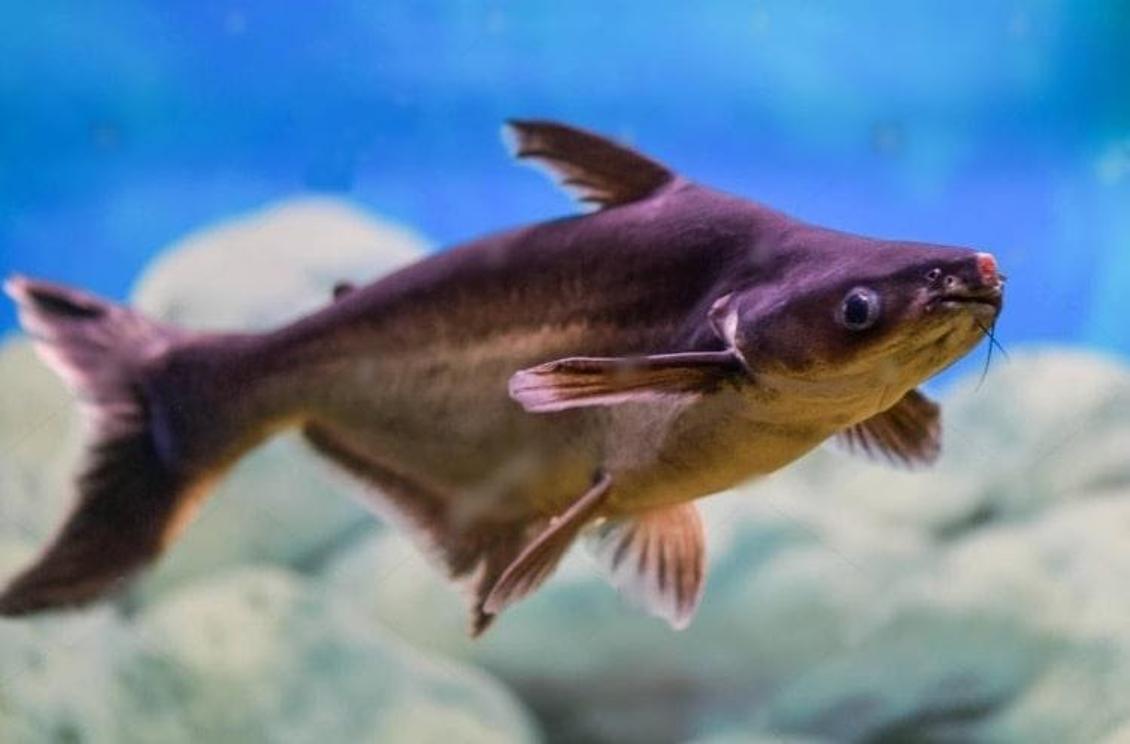 Sua carne chega a ser comparada a do Tilápia, espécie que também foi introduzida  no Tocantins.